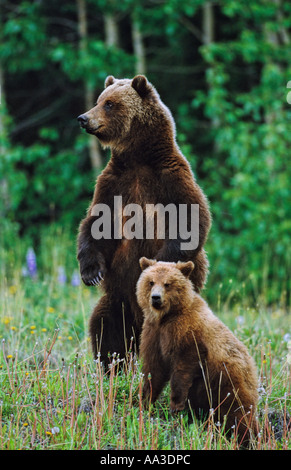 Standing grizzly bear mother and cub - Stock Photo