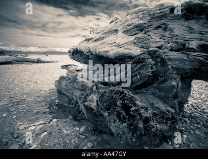 A large piece of driftwood lying on a beach, North island, New Zealand - Stock Photo