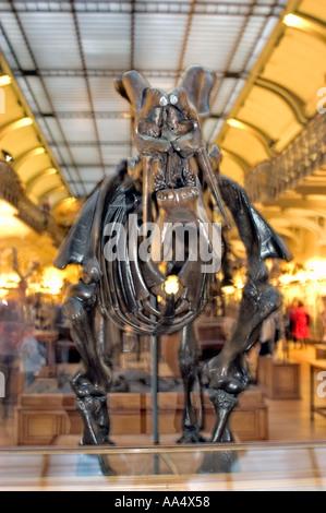 Paris, France, Night at the Museum of Natural History 'Dinosaur Skeleton' Exhibit mammoth 'Dinoceras Mirabico' - Stock Photo