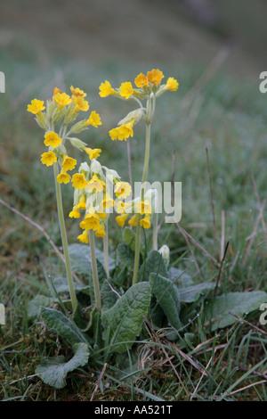 Detail of Cowslip, Primula veris inCressbrook Dale, Derbyshire, Peak District National Park, England, UK. - Stock Photo