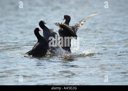 Coots fighting on lake, Regent's Park London - Stock Photo