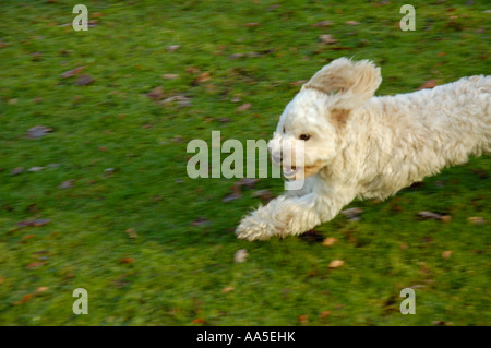 Small white terrier running into frame from side. - Stock Photo