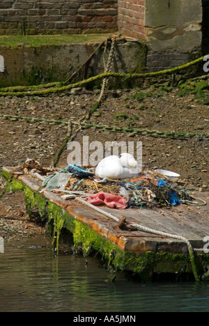 Vertical view of a female Mute swan asleep on it's nest made of recycled human rubbish discarded on the riverbank - Stock Photo