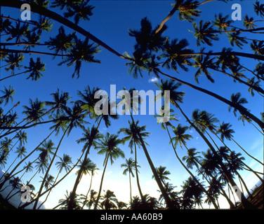 Kapuaiwa Coconut Grove Molokai Hawaii USA - Stock Photo