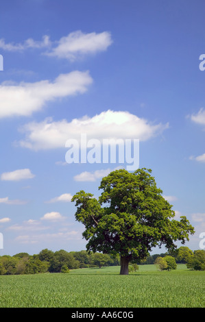 Oak tree in a field with a blue cloudy sky taken in a field in Hampshire, England. - Stock Photo