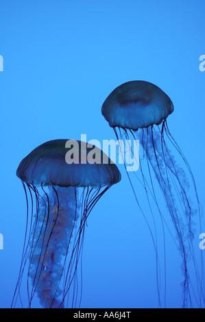 Unidentified jellyfish against a blue background (aquarium photo) - Stock Photo