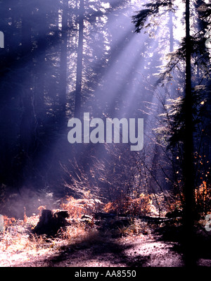 Sun casting rays of light through foggy morning in the forest - Stock Photo