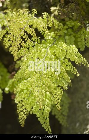 Himalayan or Evergreen Maidenhair Fern - Adiantaceae - Adiantum venustum, China, Himalaya, Asia - Stock Photo