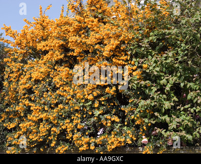Pyracantha bush - Stock Photo