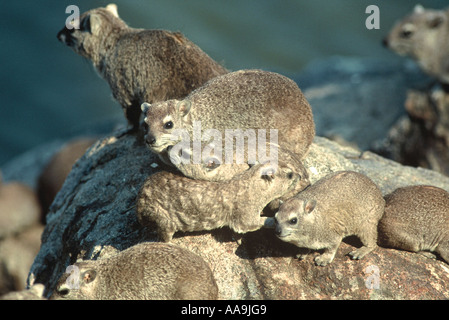 Hyrax, Procavia capensis - Stock Photo