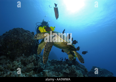 Diver observes as green sea turtle Chelonia mydas is cleaned by yellow tangs and lined bristletooth Kailua Kona - Stock Photo