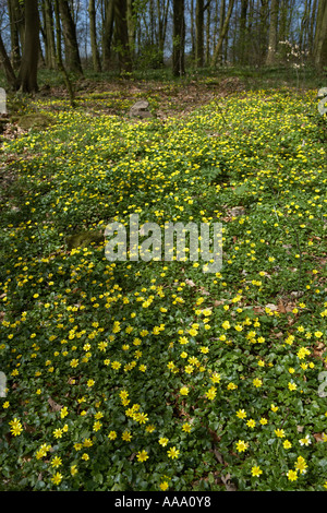 Lesser Celandine growing in spring woodland Lancashire - Stock Photo