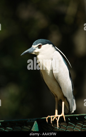 India Kerala Trivandrum Zoological Gardens Night heron Nycticorax nycticorax sitting on a fence. 2006 - Stock Photo