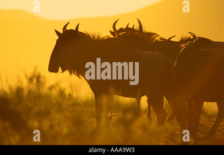 Wildebeests at dawn, Connochaetes Taurinus - Stock Photo