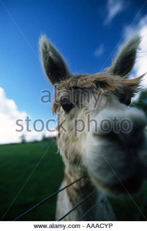 Alpacas are very curious animals. They don't like their heads or legs being touched. - Stock Photo