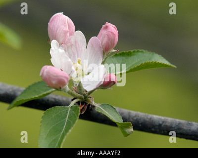 Closeup of pink and white blossom on an apple tree during mid spring is Eastern Michigan - Stock Photo