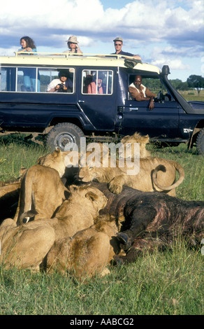 Toyota Landcruiser with tourist clients close to lion pride on kill of dead buffalo Masai Mara - Stock Photo