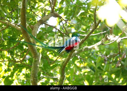 The rare and endangered bird Resplendent Quetzal, Pharomachrus mocinno, in Volcan Baru national park, Chiriqui province, - Stock Photo