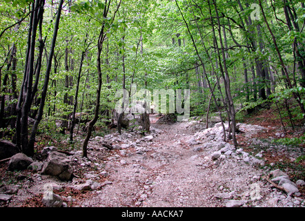stony forest track through young beech forest in the springtime in Slovenia - Stock Photo