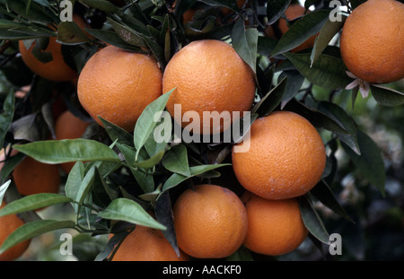 Orange growing on trees in orchard Valencia Spain - Stock Photo