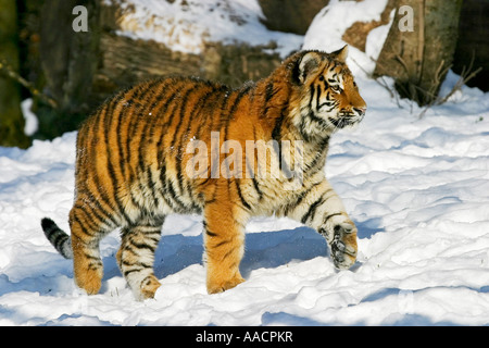 Young Sibirian Tiger (Panthera tigris altaica) in snow