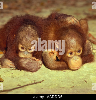 Two bright eyed baby orangutans in amusing child-like pose for camera cuddling each other at Sepilok sanctuary in - Stock Photo