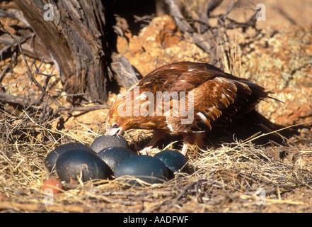 Black breasted Buzzard Hamirostra melanosternon Preparing to break open Emu eggs with stone - Stock Photo