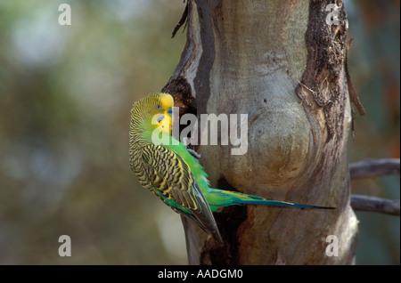 Budgerigar Melopsittacus undulatus Adult at nest hole Photographed in Northern Territory Australia - Stock Photo