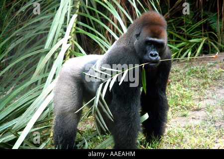 A leafy branch in his mouth, a western lowland gorilla on Loango's Evengue Island looks ready to charge - Stock Photo