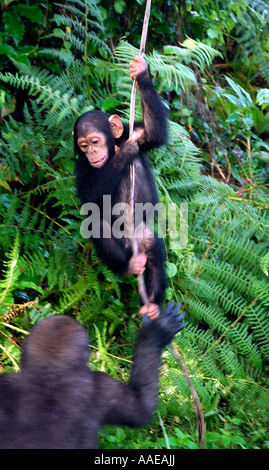 A tiny chimpanzee frolics with a young gorilla in trees at the Evaro Village island resort in Gabon - Stock Photo