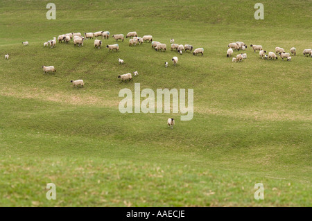 Flock of the blackface sheep, Ovis aries, on the pasture, Upper Swaledale, North Yorkshire, England, UK