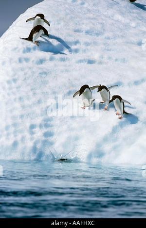 Adelie Penguins diving off iceberg into South Atlantic ocean Antarctica Summer - Stock Photo