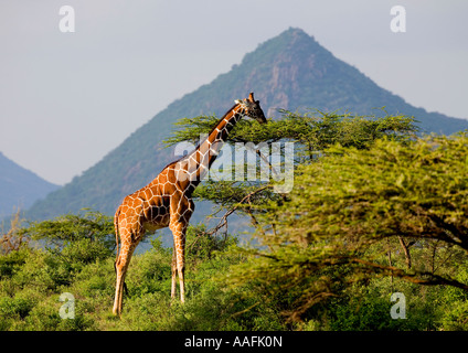 Reticulated Giraffe Giraffa camelopardalis reticulata  in evening sun against hills of Samburu National Park Kenya - Stock Photo