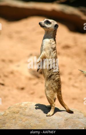 Meerkat at Taronga Zoo, Sydney, Australia - Stock Photo