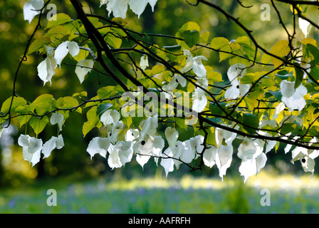 Hankerchief tree flowers at Queenswood in Herefordshire - Stock Photo