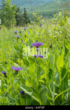Brown Knapweed -Centaurea jacea- during the spring months in the White Mountains New Hampshire USA Notes - Stock Photo