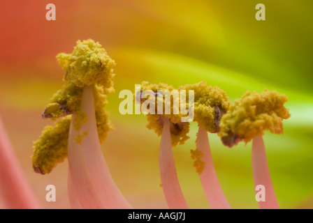 Yellow pollen on the stamen of an Amaryllis. - Stock Photo