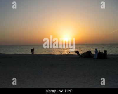 Sunset camel rides on the beach in Dubai - Stock Photo