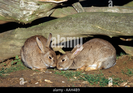 Wild Rabbit Outside Warren Winter Stock Photo: 2331833 - Alamy