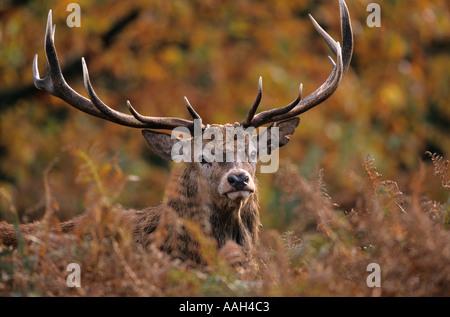 Red Deer Cervus elaphus Stag in Autumn - Stock Photo