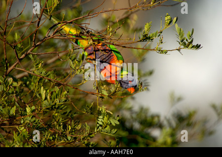 Rainbow Lorikeet Trichoglossus haematodus - Stock Photo