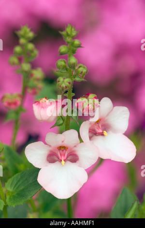 appleblossom stock photo royalty free image 88496983 alamy. Black Bedroom Furniture Sets. Home Design Ideas