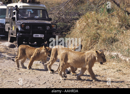 Lion cubs crossing road in front of Toyota Landcruiser Serengeti National Park Tanzania East Africa - Stock Photo
