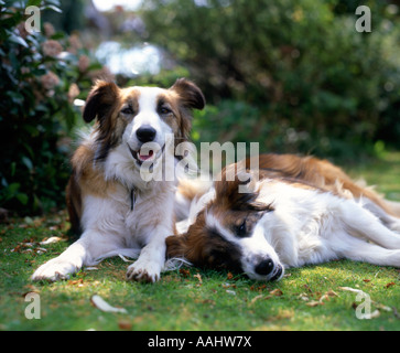 Two female Welsh Border Collie sheepdogs - Stock Photo