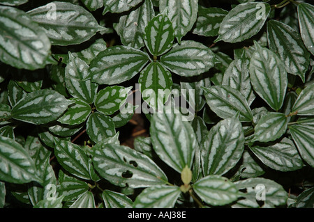 wet leaves of rainforest weed spread in a forest clearing after tree felling dsc 0271 - Stock Photo