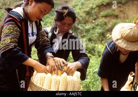 Black Hmong women packing basket with corn (maize), Sapa, Vietnam - Stock Photo