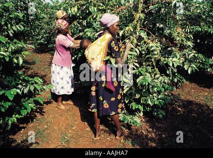 Picking coffee berries on an estate near Thika Kenya East Africa - Stock Photo