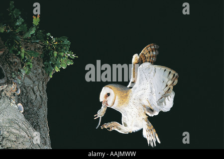 Barn Owl in flight with prey in beak South Africa The owl is about to alight at its nest The prey is a rodent - Stock Photo