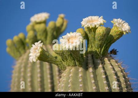 Flowers of the Saguaro cactus Blooming in Saguaro National Park Tucson Arizona USA - Stock Photo