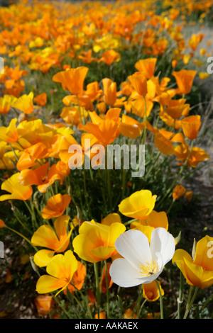 White mutant poppy Eschscholzia mexicana amongst orange poppies in southern Arizona - Stock Photo